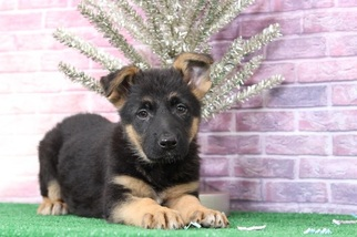 German Shepherd Dog Puppy for sale in BEL AIR, MD, USA