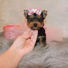 Biewer Yorkie Dog For Adoption in MATTHEWS, NC, USA