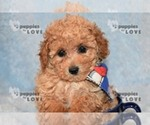 Small #19 Poodle (Toy)