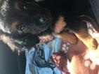 Golden Retriever-Poodle (Miniature) Mix Puppy For Sale in MURFREESBORO, TN, USA