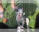 Puppy 6 Great Dane