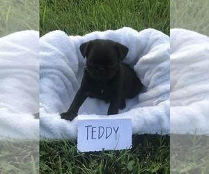 Pug Puppy for Sale in BURKESVILLE, Kentucky USA