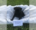 Six adorable CKC registered pug puppies for sale