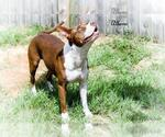 Small #32 American Pit Bull Terrier