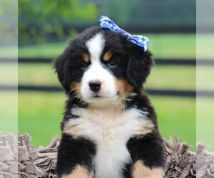 Bernese Mountain Dog Puppies For Sale Near Pittston