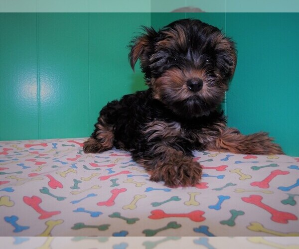 Medium Photo #5 Yorkshire Terrier Puppy For Sale in PATERSON, NJ, USA