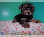 Small Photo #5 Yorkshire Terrier Puppy For Sale in PATERSON, NJ, USA