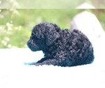 Small #38 Poodle (Standard)
