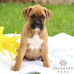 Boxer Puppy For Sale in GAP, PA,