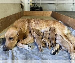 Golden Retriever Puppy for sale in STKN, CA, USA