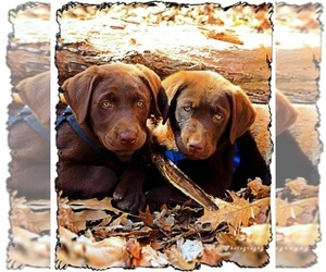 Labrador Retriever Puppy for Sale in NEW HAVEN, Kentucky USA