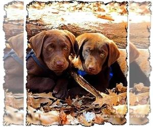 Labrador Retriever Dog for Adoption in NEW HAVEN, Kentucky USA