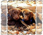 Labrador Retriever Puppy For Sale in NEW HAVEN, KY, USA