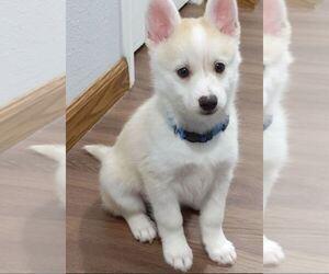 Pomsky Puppy for sale in OCALA, FL, USA