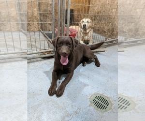 Labrador Retriever Puppy for Sale in SYRACUSE, Nebraska USA