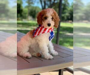 Labradoodle Puppy for sale in LADY LAKE, FL, USA