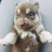 Siberian Husky Puppies Red and White