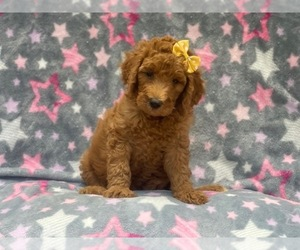 Goldendoodle-Poodle (Standard) Mix Puppy for sale in LAKELAND, FL, USA