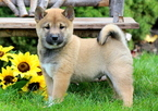 Shiba Inu Puppy For Sale in MOUNT JOY, PA, USA