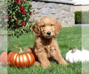 Goldendoodle Dog for Adoption in EPHRATA, Pennsylvania USA
