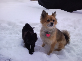 Pomeranian Dog For Adoption in BOTHELL, WA