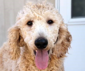 Mother of the English Cream Golden Retriever-Poodle (Standard) Mix puppies born on 04/13/2019