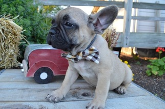 View Ad French Bulldog Puppy For Sale Pennsylvania Honey Brook Usa