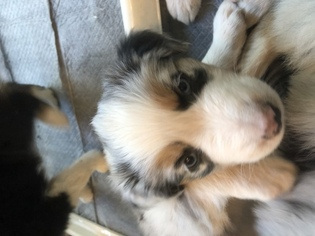 Australian Shepherd Puppy For Sale near 97520, Ashland, OR, USA