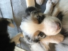Australian Shepherd Puppy For Sale in ASHLAND, OR, USA