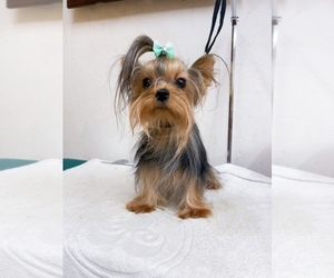 Yorkshire Terrier Dog for Adoption in ASTORIA, New York USA