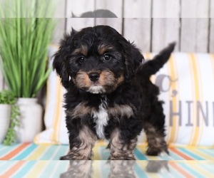 Cavapoo Dog for Adoption in MOUNT VERNON, Ohio USA