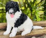 Puppy 2 Goldendoodle-Poodle (Standard) Mix