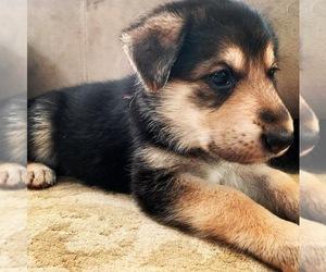 German Shepherd Dog Puppy for sale in STANWOOD, WA, USA