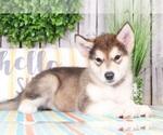 Alaskan Malamute Puppy For Sale in MOUNT VERNON, OH, USA