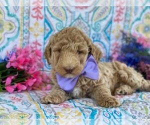 Poodle (Standard) Puppy for sale in LANCASTER, PA, USA