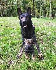 Father of the German Shepherd Dog puppies born on 12/16/2018