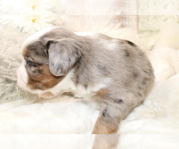 Medium Photo #9 Australian Shepherd Puppy For Sale in STAFFORD, VA, USA