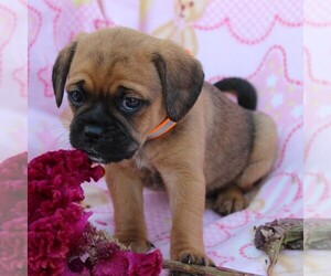 Puggle Puppy for sale in CHARLOTT HALL, MD, USA