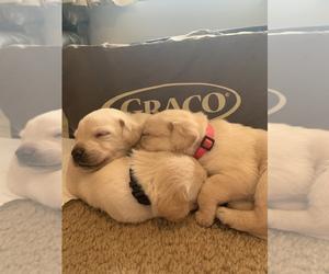 Labrador Retriever Puppy for Sale in RANTOUL, Illinois USA