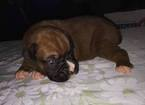 Boxer Puppy For Sale in TUSCOLA, IL,