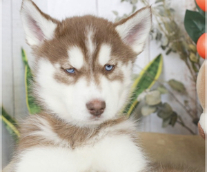 Siberian Husky Puppy for Sale in SUN CITY, Arizona USA