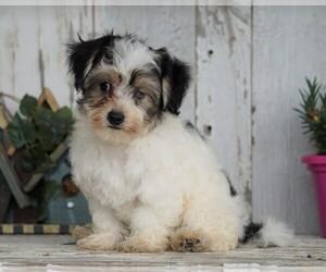 Zuchon Puppy for sale in FREDERICKSBG, OH, USA