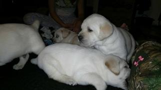 Labrador Retriever Puppy For Sale in RENO, NV