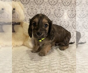 Dachshund Puppy for Sale in BUCHANAN, Georgia USA
