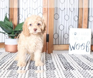 Cock-A-Poo Puppy for sale in NAPLES, FL, USA