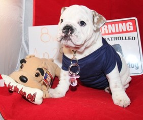 Bulldog Puppy for sale in LINDEN, NJ, USA