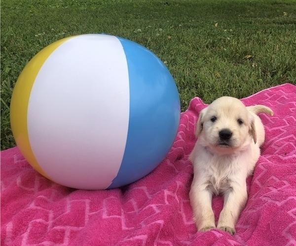 Medium Photo #1 Golden Retriever Puppy For Sale in AUSTIN, KY, USA