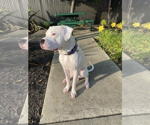 Dogo Argentino Puppy for sale in HAYWARD, CA, USA