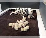Small #13 Dalmatian