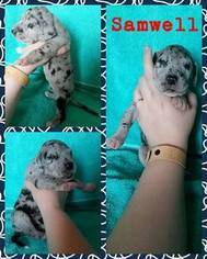 Great Dane Puppy for sale in ALTON, IL, USA